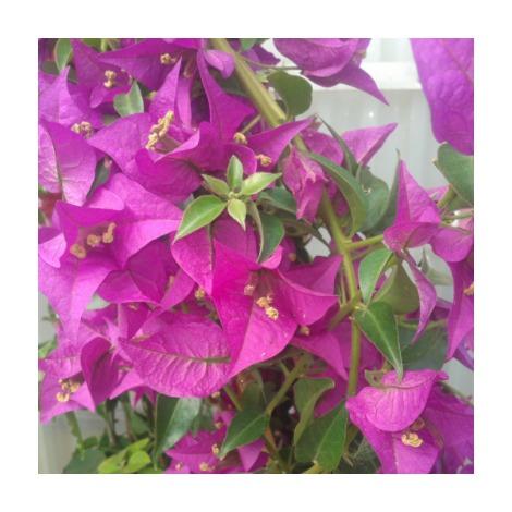 Bouganvillea sp - Fuchsia - Contenedor de 10Litros - 100cm de altura - (Co)