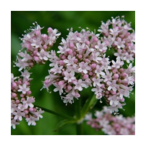 Valeriana officinalis - Contenedor 13cm - (Co)
