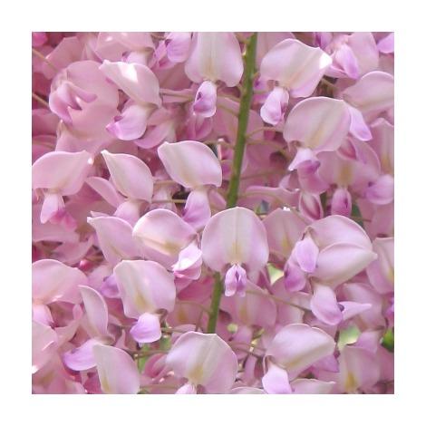 Wisteria floribunda var.rosea - Contenedor de 2Litros - 100cm d e altura – (To)