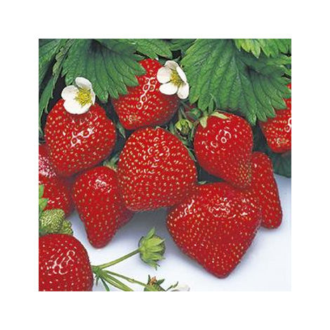 Fragola rifiorente 4 stagioni - 6 piante - Orto Mio