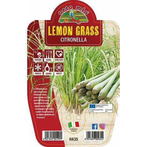Lemon Grass - Citronella - 1 pianta v.14 - Orto Mio