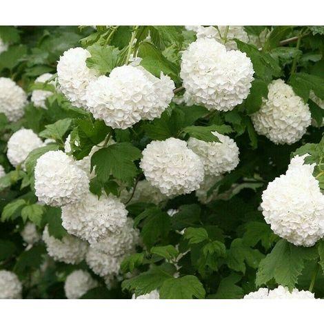 Viburno opulus pianta da cespuglio -vaso 7- arredo pianta giardino palla di neve