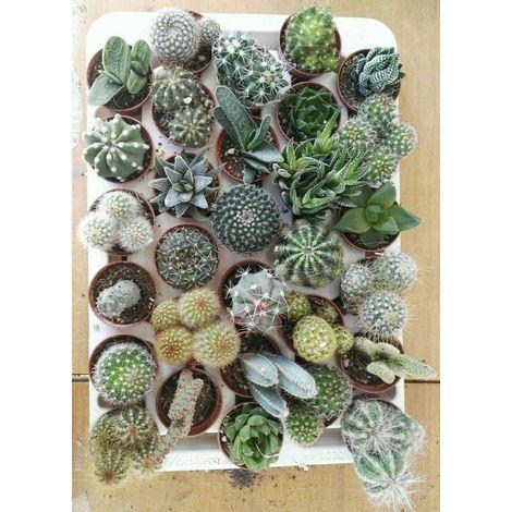 30 piante grasse -vaso 5,5cm- piante grasse succulenti - 30 pezzi -