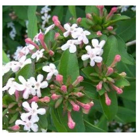 Pianta di abelia arredo giardino balcone pianta da cespuglio - vaso 7cm -