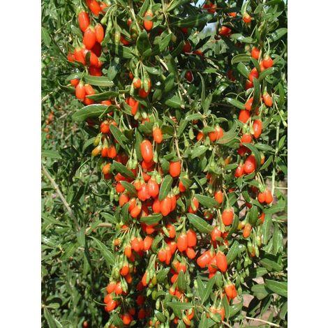 Pianta goji lycium barbarum pianta di goji vaso 7 gogi