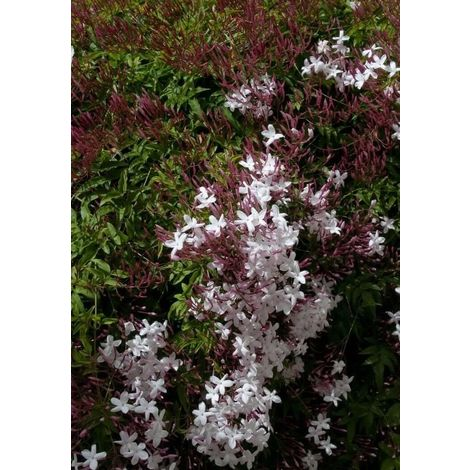5 pz pianta di gelsomino jasminum polyanthum rampicante gelsomino vaso 7