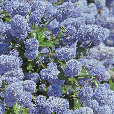 Pianta di ceanothus ceanoto ceanotus cespuglio arredo giardino vaso 7