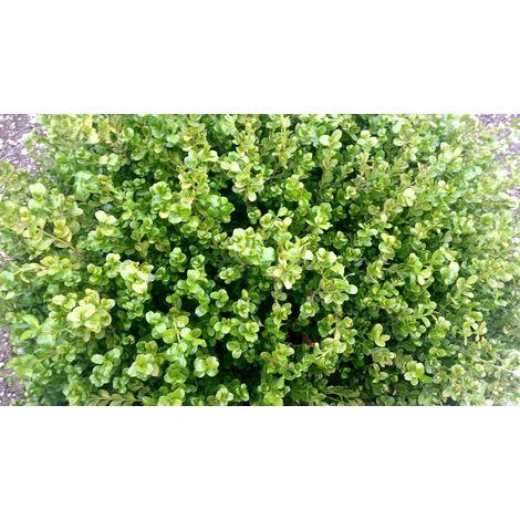 Pianta di buxus rotondifolia pianta di bosso pianta da siepe vaso 7