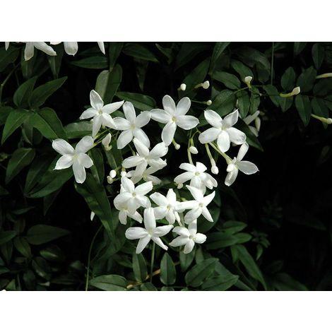 Pianta di gelsomino jasminum officinale rampicante gelsomino rampicante vaso 7
