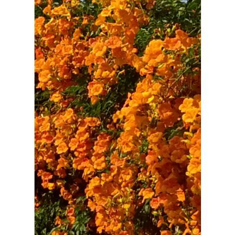 Pianta di bignonia grandiflora rampicante piante rampicanti vaso 7