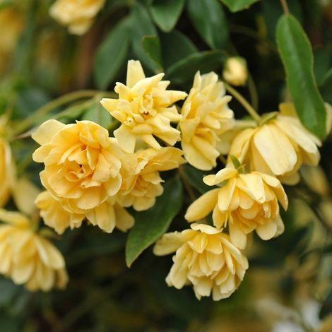 Banksiae Lutea Plena [Vaso Ø19cm]