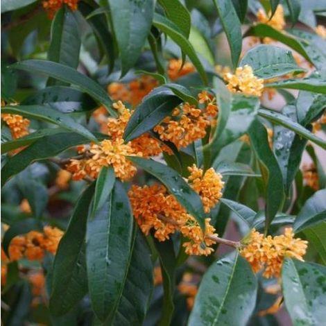 """Osmanthus fragrans """"Aurantiacus"""" (Olea fragrans) – Osmanto fiore arancio - Ø 19 cm"""