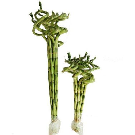 Lucky bamboo spirale (Bambù della Fortuna) – venduta 1 pianta - 40 cm
