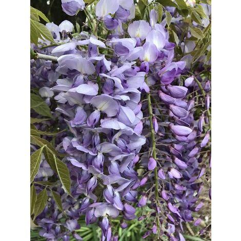 Wisteria floribunda Macrobotrys (glicine viola) vaso 18cm