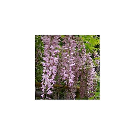 Wisteria Floribunda Rosea (glicine rosa) vaso 18cm