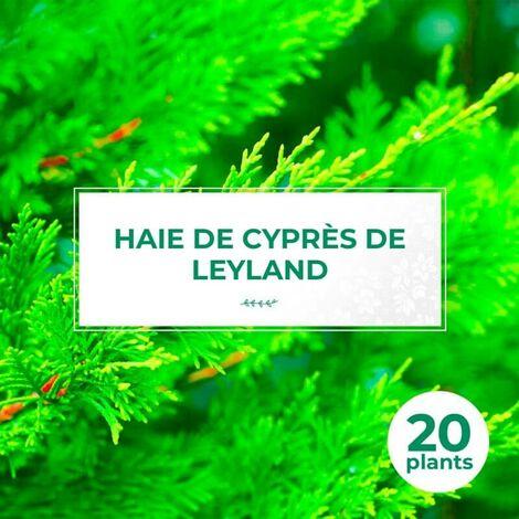 20 Cyprès De Leyland (Cupressocyparis Leylandii) - Haie de Cyprès de Leyland -