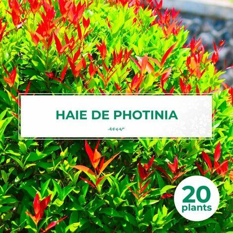 20 Photinia (Photinia Fraseri 'Red Robin') - Haie de Photinia -