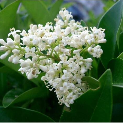 Troène du Japon (Ligustrum Japonicum) - Godet - Taille 20/40cm