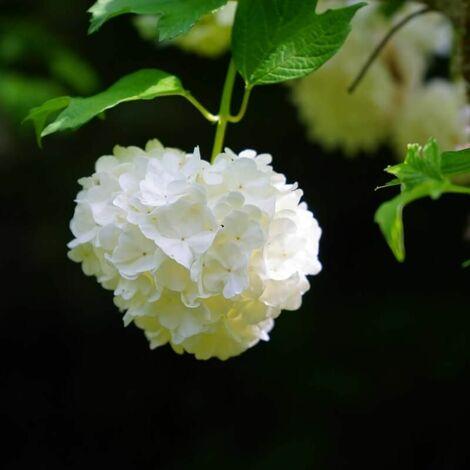 Boule de Neige (Viburnum Opulus Roseum) - Godet - Taille 10cm