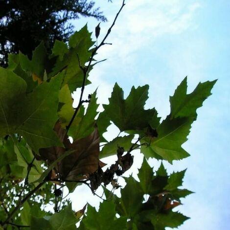 Platane à Feuilles d'Érable (Platanus Acerifolia) - Godet - Taille 20/40cm