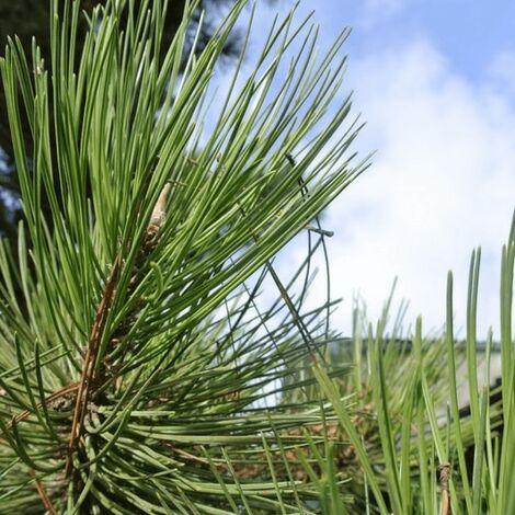 Pin Sylvestre (Pinus Sylvestris) - Godet - Taille 13/25cm