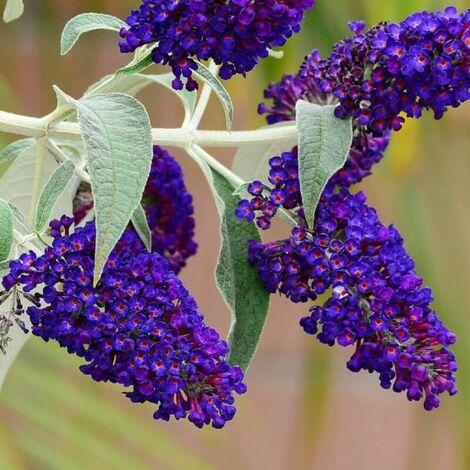Arbre à Papillons (Buddleia Davidii 'Black Knight') - Godet - Taille 20/40cm