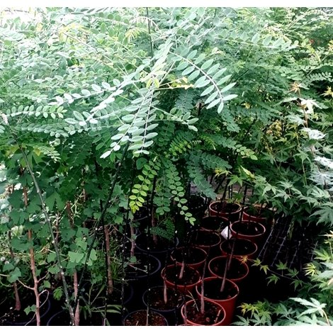 1 Arbol Falsa Acacia Del Japon Sophora Japonica 120 Cm 3146683