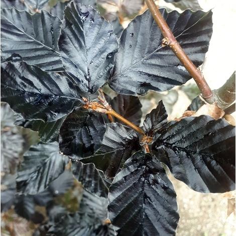 1 Arbol Haya Fagus Sylvatica Atropurpurea. 120-130 Cm