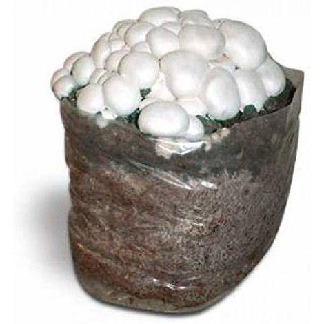 1 Kit Coltivazione Funghi Prataiolo Champignon Colore Crema Substrato Panetti Funghi