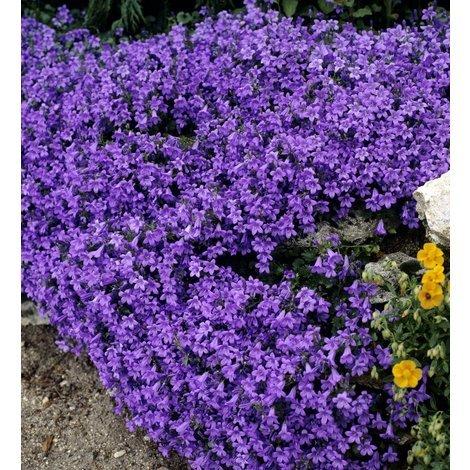 1 PIANTA CAMPANULA GET ME BLU Perenne in vaso 10cm giardino