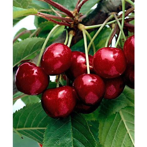 1 PIANTA DI CILIEGIO KORDIA NANO IN VASO 19CM piante da frutto nane vaso
