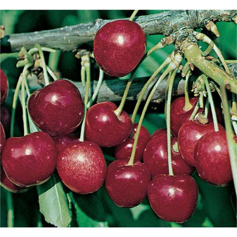 1 pianta di ciliegio stella nano in vaso 20cm piante da for Piante da frutto nane
