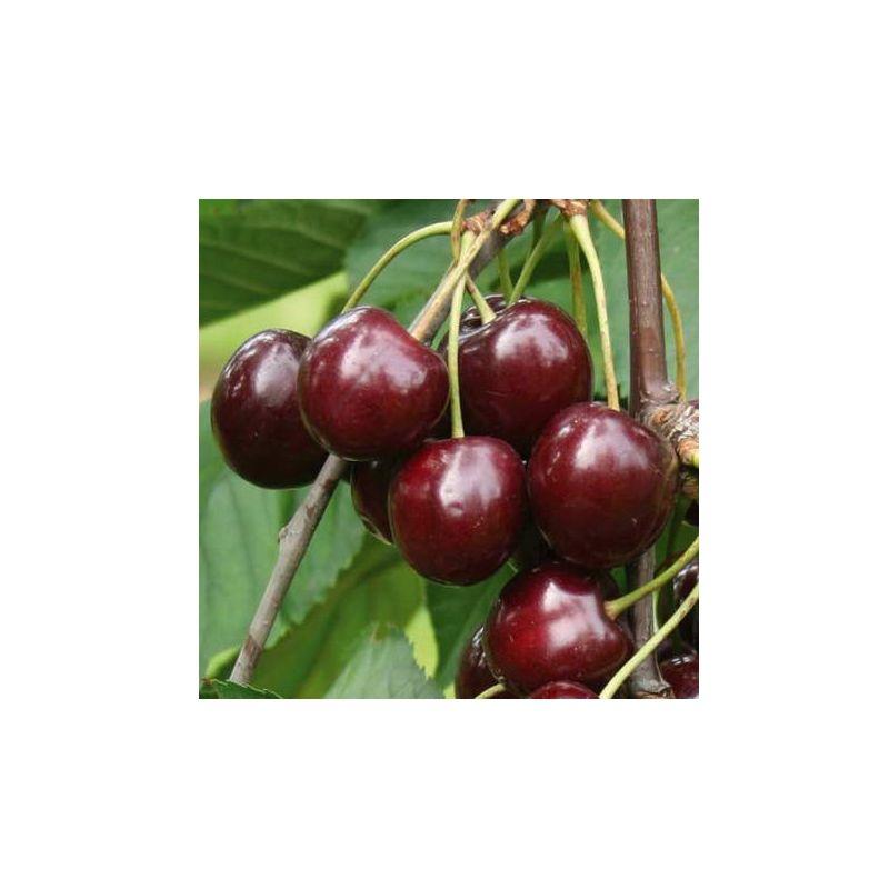 1 pianta di ciliegio sunburst burlat nano in vaso 20cm for Piante da frutto nane
