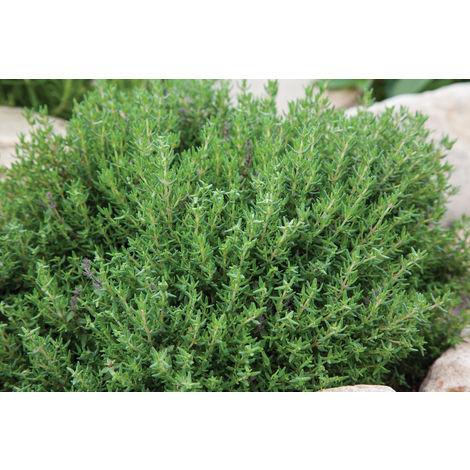 1 PIANTA DI TIMO FAUSTINI IN VASO 14CM aromatiche orto giardino
