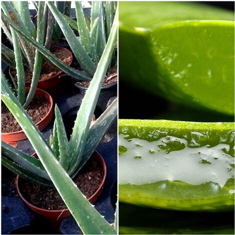 1 Planta ALOE Vera. Altura Planta 30 - 40 Cm