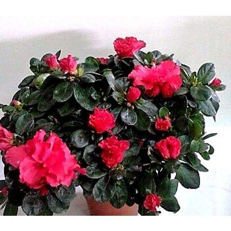 1 Planta. AZALEA ROJA. Altura 15 - 20 Cm