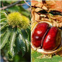1 Planta. Castaño de Fruto Castaña, Castiñeiro, Castanea Sativa