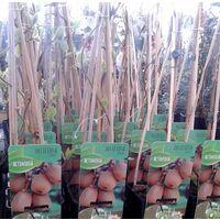 1 Planta de Frutal KIWI Autofertil Deliciosa Jenny. Altura Árbol 30 - 40 Cm