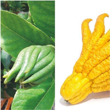 1 Planta de Frutal Mano de Buda Cidro Digitado. Altura Árbol 80 - 100 Cm.