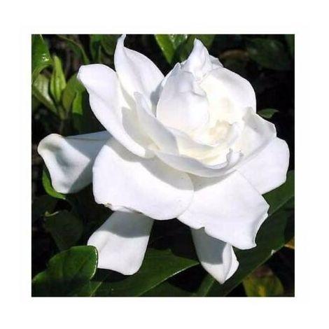 1 Planta de Gardenia Augusta. Altura unos 20 - 30 Cm