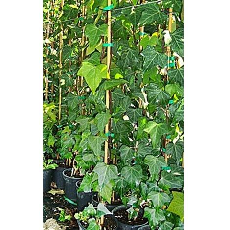 "main image of ""1 Planta de Hiedra - Hedera Helix. Altura 100 Cms."""