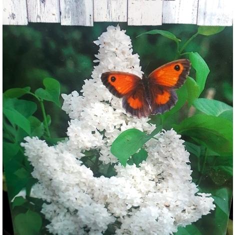 1 Planta de Lila Blanca. Syringa Vulgaris. Altura Planta 30-40 Cm