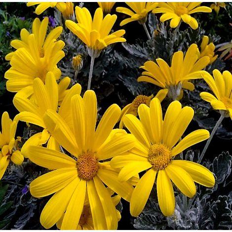 1 Planta de Margarita Amarilla URYOPS. Altura planta 20 - 30 Cm