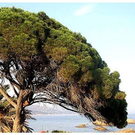 Planta de pino