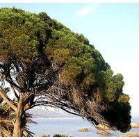 1 Planta de Pino piñonero. Pino real. Pinus pinea. Altura: 20 / 30 cms