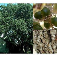 1 Planta de Quercus Suber – Alcornoque.