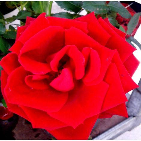 1 Planta de Rosal ROJO en Maceta. Altura Planta 40 - 50 Cm