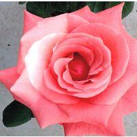 1 Planta de Rosal ROSA en Maceta. Altura Planta 40 - 50 Cm