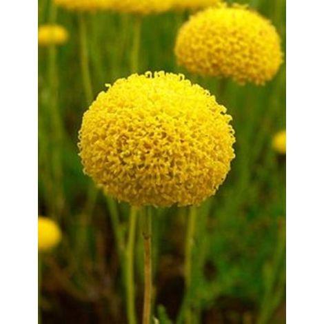1 Planta de Santolina Rosmarinifolia - Santolina. Altura 15 - 20 Cm