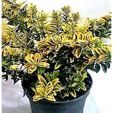 1 Planta. EUONYMUS MICROPHYLLUS AUREA (EVONIMO). Arbusto Setos. 10 - 15 Cm
